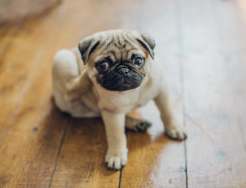 Itching is in the Air: 7 Answers to Questions About Your Pet's Atopy